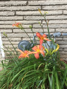 Daylilies finally blooming