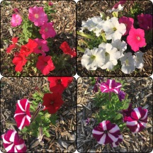 Tons of petunias!