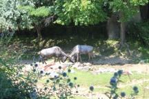 Kudu locking horns