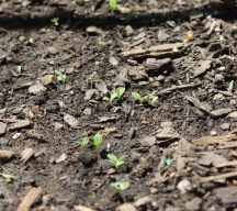 Lettuce seedings
