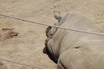 Napping rhino