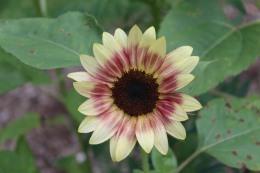 Surprise sunflower!